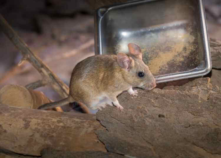 How To Get Rid Of Woodrats